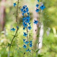 Цветы Алтая :: юрий Амосов