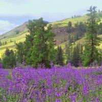Алтайские луга. :: юрий Амосов