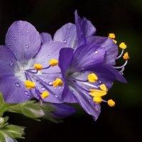 Микроцветок :: Юрий Кольцов