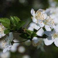 Алычи цвет :: Nyusha