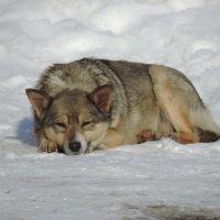 Бездомный пес :: Оксана Романова