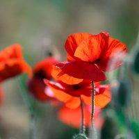 Красные маки Севастополя :: Nyusha