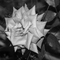Июльская роза :: Aнна Зарубина