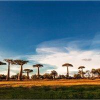 Утренняя встреча с аллеей баобабов!Мадагаскар! :: Александр Вивчарик