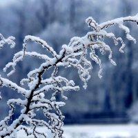 Снежная ветка. :: юрий