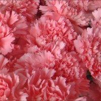 Розовый вихрь :: Нина Корешкова