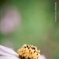 Воздушный цветок :: Анастасия Полищук