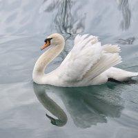 Лебедь :: Наталья