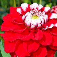 У цветов не бывает будней, они всегда одеты празднично... :: Mari Kush