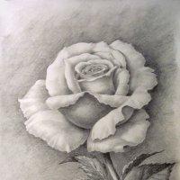 Роза :: rv76