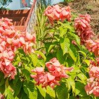 Нежный цвет, чудесный аромат :: Виктор Куприянов