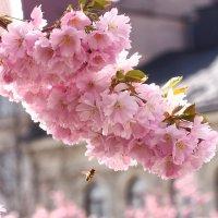 Цветение cакуры в Стокгольме :: Swetlana V