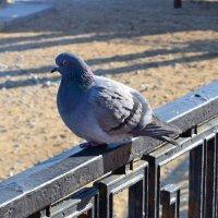 Одинокий голубь :: Виктор Шандыбин