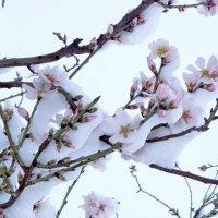 Весна.Снег.Цветет миндаль. :: Юрий Захаров