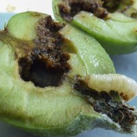 Личинка бабочки плодожорки. :: Валерий Изотов