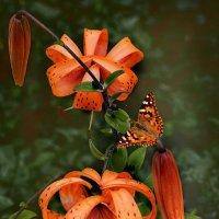 Тигровая лилия :: mila
