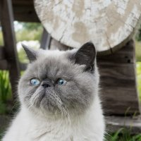 Exotic shorthair  cat. :: Илья В.