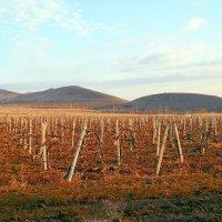 Горные виноградники :: Виктор Шандыбин