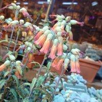 А некоторые кактусы цветут вот так! :: Galina194701
