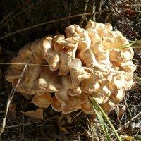 вот такой гриб :: tgtyjdrf