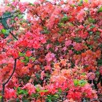 Рододендрон! Рододендрон! Пышный цвет оранжереи... :: Mari Kush