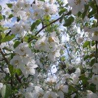 Цветущая яблоня :: Сергей Тагиров