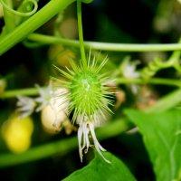 растение :: Алла Лямкина
