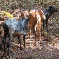 Священные животные, которые гуляют сами по себе :: Виктор Куприянов