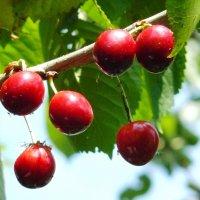 созрели вишни в саду... :: Леонид Натапов