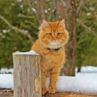 Рыжий кот :: Краснов  Ю Ф