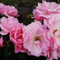 """Роза """"Poulsen`s Pink"""", год создания 1939, группа флорибунда розы :: Елена Павлова (Смолова)"""