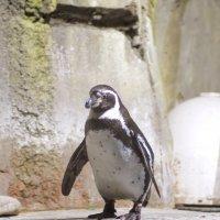 Пингвин :: Олег Савин