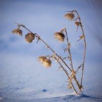Колючка на снегу :: Ilona An