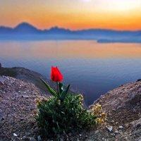 ...тюльпан гордым пламенем рея... :: viton