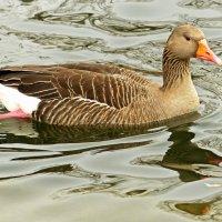 Уплывает от бабуси она сьела белого гуся -:))) :: Александр Запыленов