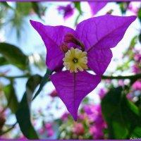 Цветы жарких стран: бугенвиллия :: Андрей Заломленков