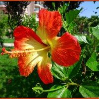 Цветы жарких стран: роскошь гибискуса :: Андрей Заломленков