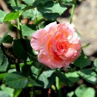 Розы юга :: Ирина Фирсова