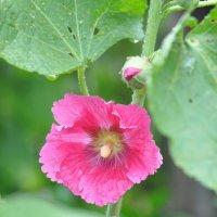 Розовый цветок мальвы :: Сергей Тагиров