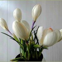 Белые крокусы :: Вера