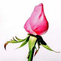 лат.Tulipa Vernalis :: Виктория Трунова