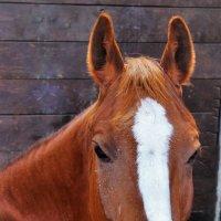 Портрет лошади :: Сергей Чиняев