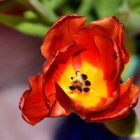 Тюльпаны к 8 Марта :: Sergej