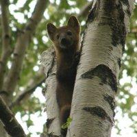 Алтайский соболь в летнем наряде :: Андрей
