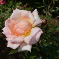 Роза :: Наталья Тагирова