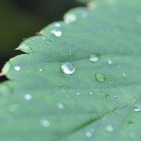 Капли дождя на листе клубники :: Сергей Тагиров