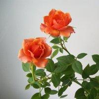 Розы :: Galaelina