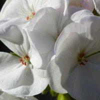 Цветок герани. :: Пётр Беркун