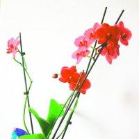 Orchidaceae :: просто Борисыч