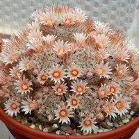 Цветущий кактус :: Сергей Босов